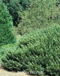 Plantlist for Duke gardens plum yew